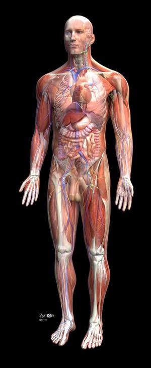 Zygote_male_anatomy